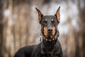 A dog with serious face, dangerous dog breeds